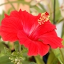 Todays new bloom (Hibiscus rosa-sinensis (Chinese Hibiscus))
