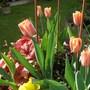 Tulipa 'Apricot Fox'