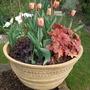 Tulipa_apricot_fox_