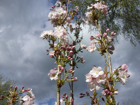 Prunis 'Amanogawa' Japaneses flowering cherry (Prunus 'Amanogawa' (Japanese Flowering Cherry Tree))