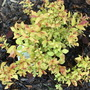 Spiraea japonica 'Firelight' (Spiraea japonica 'Firelight')