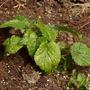 Campanula takesimana (Bellflower)