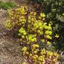 Euphorbia_amygdaloides_purpurea