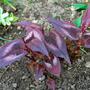 Persicaria Red Dragon.... (Persicaria  red dragon.)