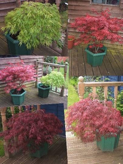 Acer Collage (Acer palmatum)