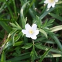 the humble woodland anemone