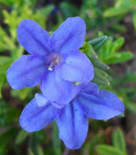 Lithodora diffusa 'Heavenly Blue' (Lithodora diffusa 'Heavenly Blue')