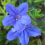Lithodora diffusa 'Heavenly Blue' (Lithodora diffusa 'Heavenly Blue')