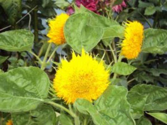 Teddy Bear Sunflowers (Teddy Bear Sunflowers)