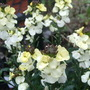Erysimum_winter_moon_