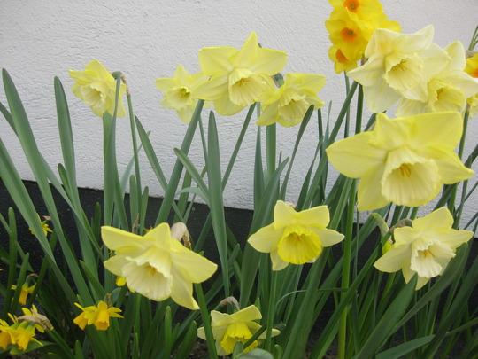 Narcissus Binkie
