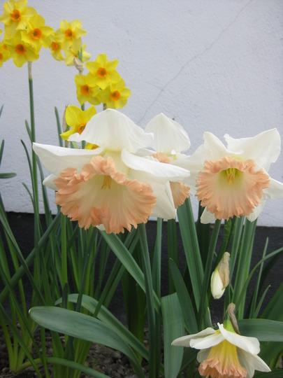 Narcissus Easter Bonnet