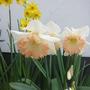 Narcissus_easter_bonnet_