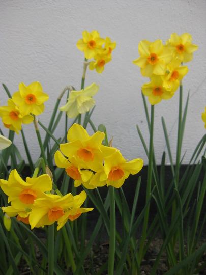 Narcissus Falconnet