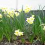 Narcissus_minnow_