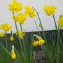 Narcissus_quail_