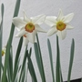 Narcissus Rosy Morn