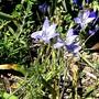 Tritelia. (Triteleia ixioides (Triteleia))