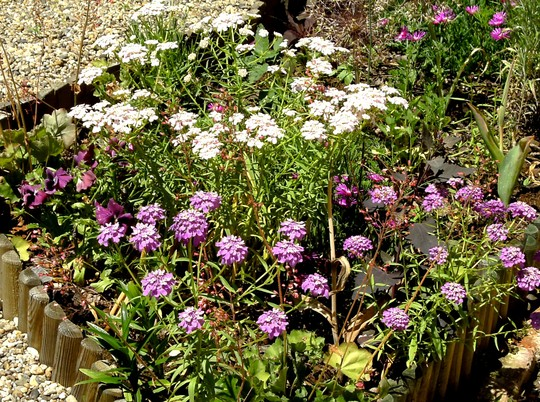 Candytuft (Iberis sempervirens (Candytuft))