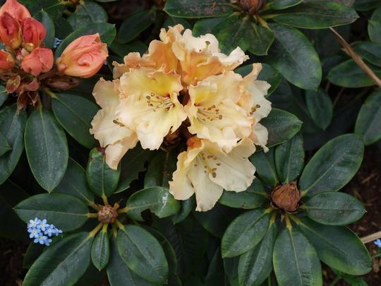Rhododendron hybrid 'Horizon Monarch' (Rhododendron hybrid 'Horizon Monarch')