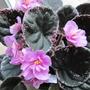 Variegated African Violet (Saintpaulia)