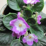 Pink and White African Violet (Saintpaulia)