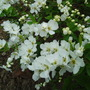 Macrantha 'The Bride' (Exochorda x macrantha (Pearl bush))