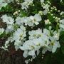 Macrantha 'The Bride' (Exochorda x macrantha (Pearl bush))