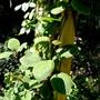 Actinidia or Kiwi vine. (Actinidia deliciosa (Kiwi fruit))