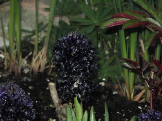 black hyacinth all open (hyacinthus midnight mystique)