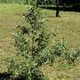 Salix eleagnos (Salix eleagnos)