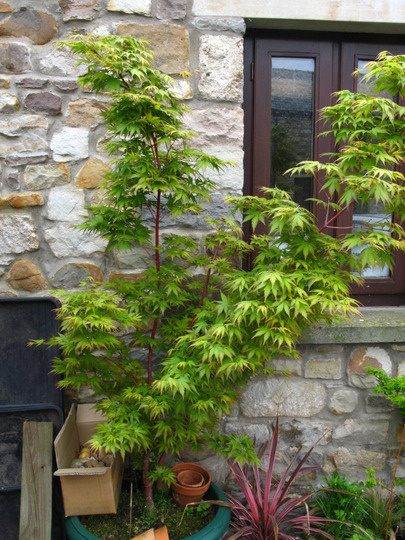 and just a few days later (Acer palmatum (Japanese maple))