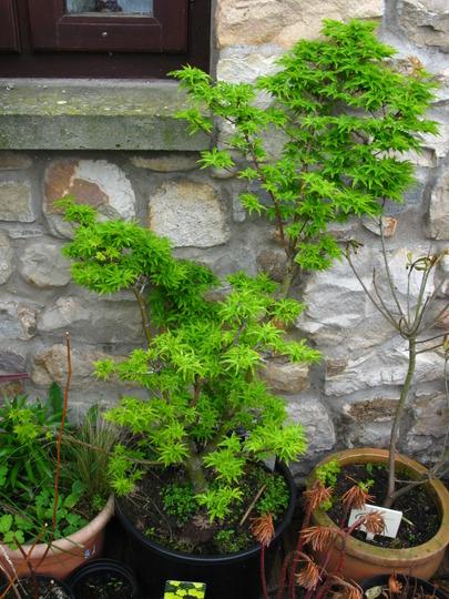 and likewise the Shishigashira (Acer palmatum (Japanese maple))