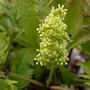 Flower on Sambucus Racemosa 'Plumosa Aurea'  (Sambucus Racemosa 'Plumosa Aurea')