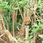 Cute little robin