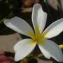 Plumeria obtusa 'Singapore'  - Singapore Plumeria Flower (Plumeria obtusa 'Singapore'  - Singapore Plumeria)