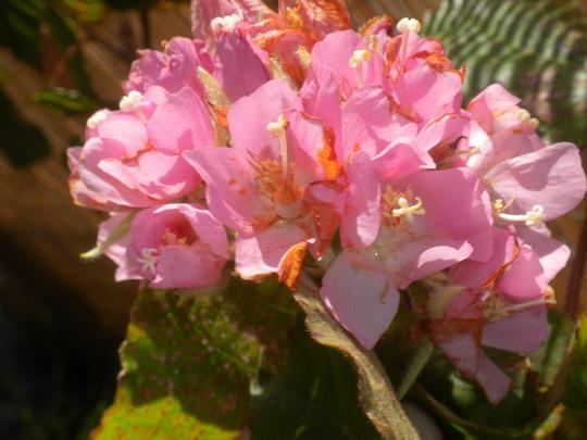 Dombeya wallichii - Pink Ball Tree, Tropical Pink Hydrangea (Dombeya wallichii - Pink Ball Tree)