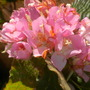 Dombeya wallichii - Pink Ball Tree