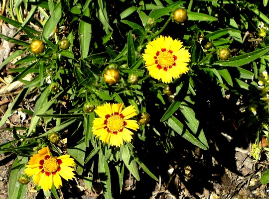 Coreopsis just starting to flower (Coreopsis goldfink)