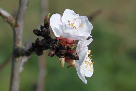 Happy Flowers (Prunus armeniaca)