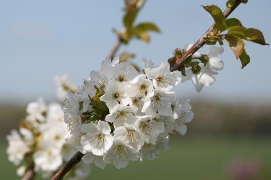Cherry Bigarreau Burlat (Prunus avium (Wild cherry))