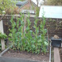 my prize sprouts - now over 4 ft 6 ins