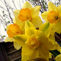 "Narcissus ""Golden Ducat"" amongst N. ""Fortune"""