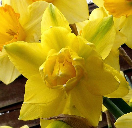 "Narcissus ""Golden Ducat"""