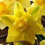 "Narcissus ""Golden Ducat"""