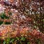 Photinia Red Robin and Prunus Pisifera Nigra