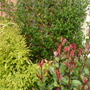 Ceanothus, Lonicera Nitidia and Little Red Robin