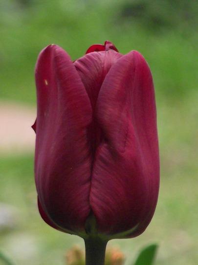 Jan Reus (Tulipa triumph (Triumph Tulip))