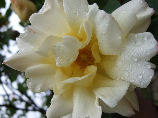 Cream rose full bloom.