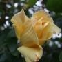 Cream_rosebud